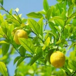Плодоношение лимона