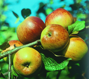 Яблоки сорта Коричное новое