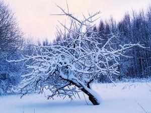 Вымерзание яблони зимой