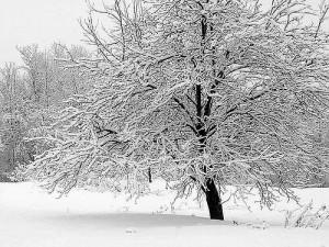 Зимовка яблони