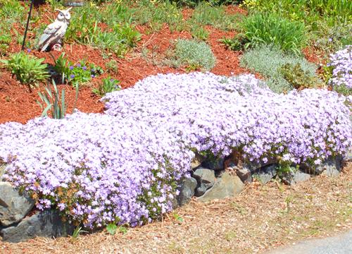Цветоводы.  В любом парке на газонах, в наших садах, на клумбах можно увидеть цветущие флоксы.