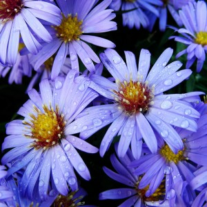 Пурпурные астры