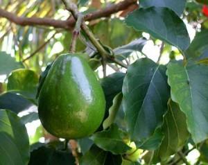 Плод авокадо на дереве