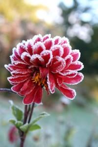 Георгины во время заморозков