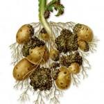 Рак на клубнях картофеля