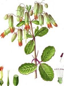 Каланхое и его цветки