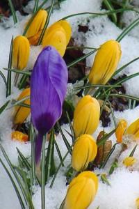 Крокусы ранней весной