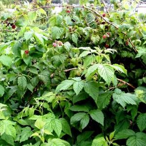 Плодоношение кустов малины