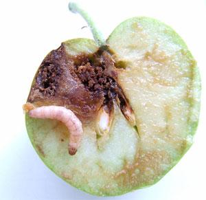 Яблоко, пораженное личинкой плодожорки