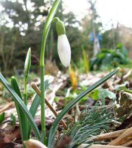 Первые цветы - подснежники