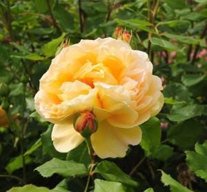 Выращивание розы
