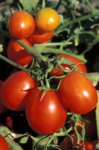 Урожай помидоров