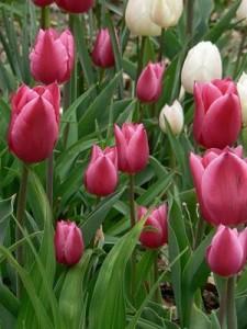 Ускоренное выращивание тюльпанов