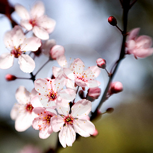 Фото вишни в саду