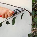 Обрезка вишни секатором