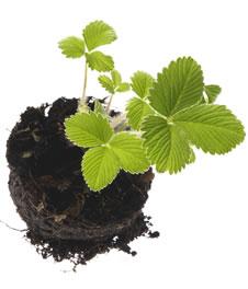 Выращивание земляники