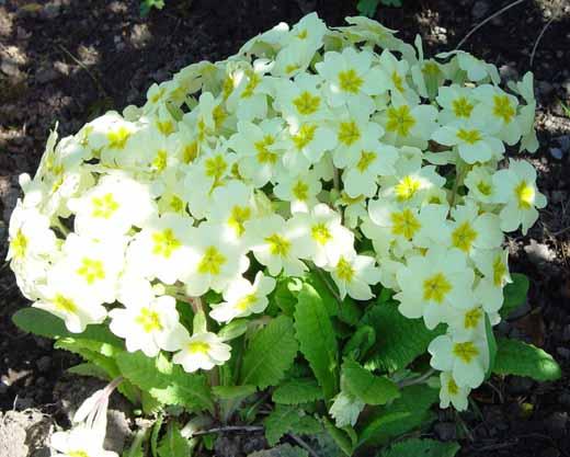 Настоящее украшение весеннего сада - примулы садовые.  С ранней весны они радуют Вас своим.
