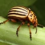 Колорадский жук на растениях баклажана