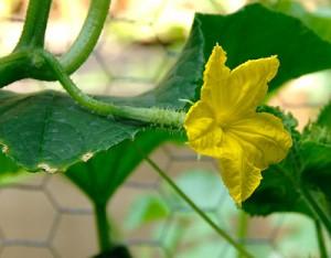 Цветок огурца