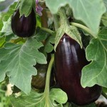 Выращивание баклажанов