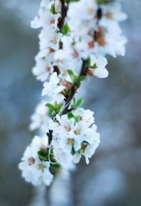 Обильно цветущая яблоня