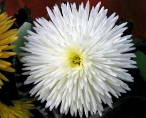 Гибрид хризантемы