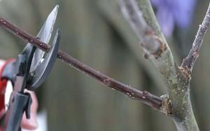 Укрепление кроны дерева
