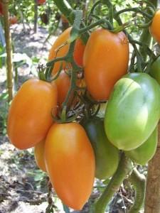 Лиановидные помидоры