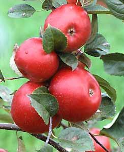 Плоды карликовой яблони