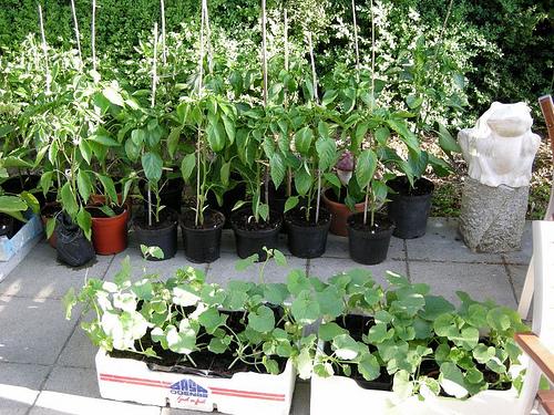 Выращивание дыни рассада 6