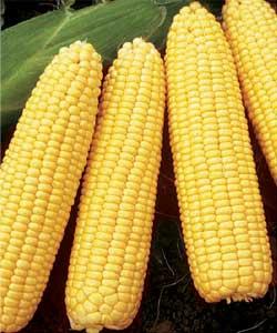 Початки сахарной кукурузы