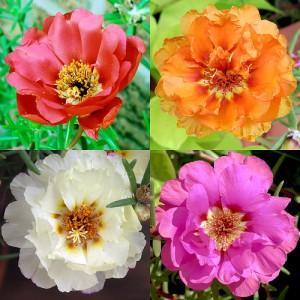 Цветки портулака