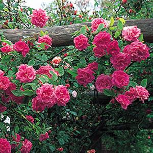 Прививка штамбовых роз