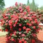 Куст штамбовой розы