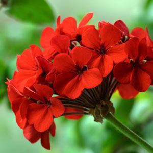 Герань - фитонцидное растение