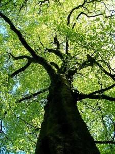 Ствол и крона дерева