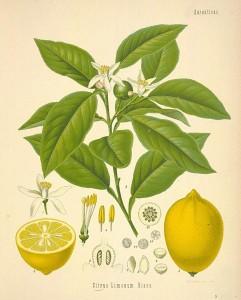 Строение лимона