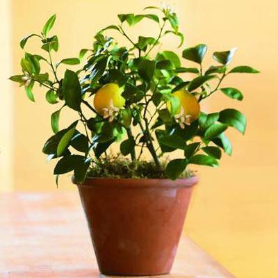 Комнатный лимон в домашних условиях - YouTube
