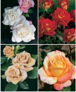 Разновидности чайногибридных роз