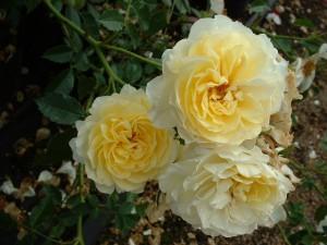 Желтоцветные розы Леверкузен