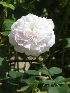 Сорт розы Майденс Бланш