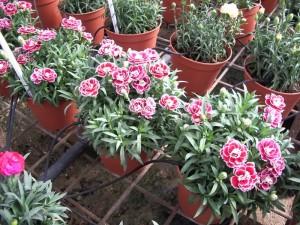 Цветы гвоздики в теплице
