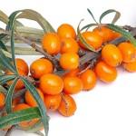 Ветка с плодами облепихи