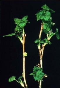 Черенки смородины с листьями