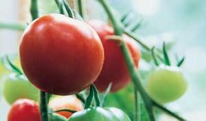 Парник с помидорами