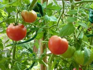 первая цветочная...  23.07.2013. Советы опытного огородника: как получить урожай томатов раньше и выше!