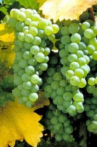 Виноград в саду