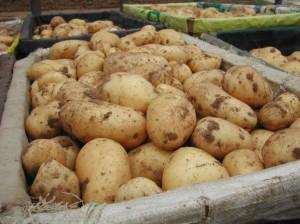 Картофель своими руками