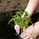 Советы по культивации томатов