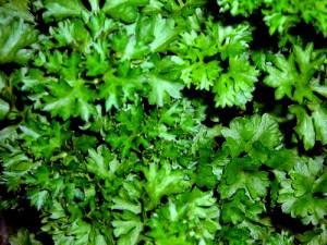Урожай зелени на грядке